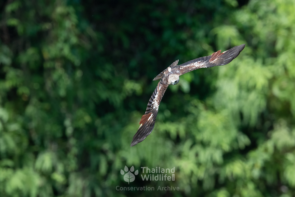 Juvenile brahminy kite (Haliastur indus), also known as the red-backed sea-eagle, is a medium-sized bird of prey in the family Accipitridae. They are found mainly on the coast and in inland wetlands, where they feed on dead fish and other prey.