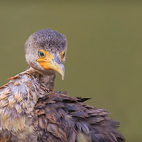 Young double crested comorant found drying feathers after fishing on the Clear Fork reservoir in central Ohio.