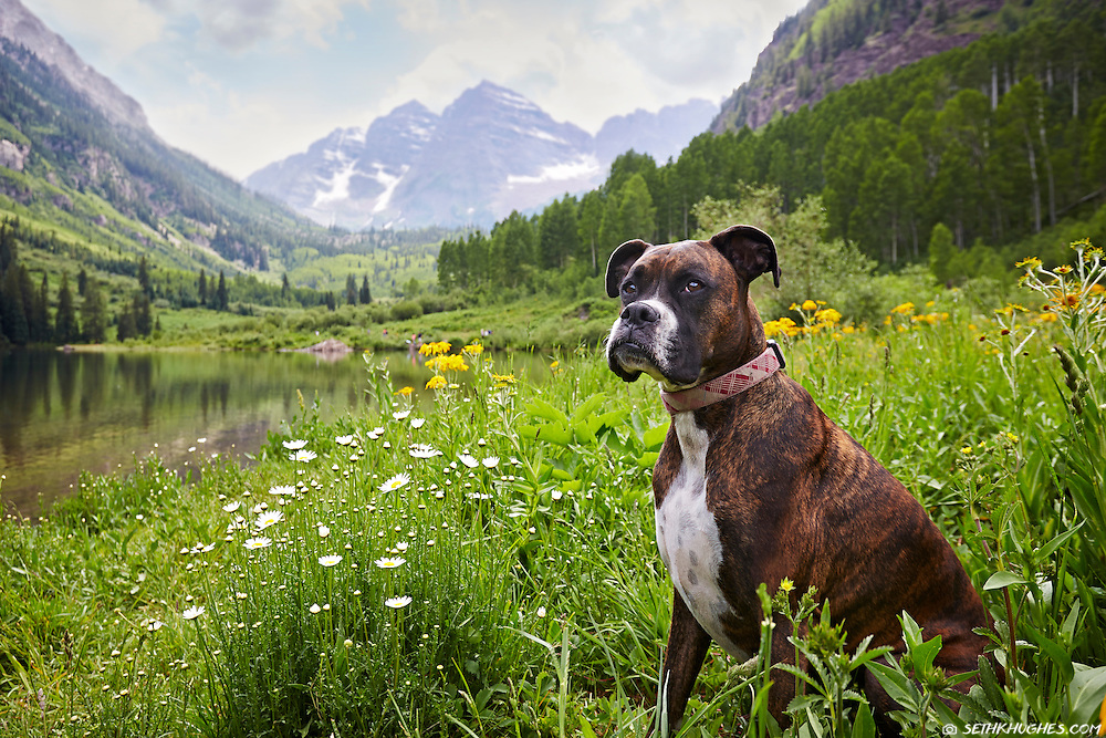 A pet boxer dog sits among flowers in a mountain valley meadow.