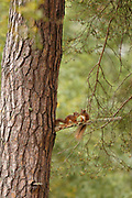 Two young Red Squirrels (Sciurus vulgaris) on first visit out of drey; in the Cairngorms National Park, Scotland.