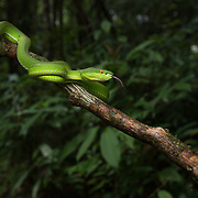 White-lipped Pit Viper (Trimeresurus albolabris) adult female in Yan Ta Khao district, Trang, Thailand