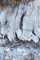 Base of a weathered tree in Tuolumne Meadows Yosemite National Park Sierra Nevada Mountains California USA.