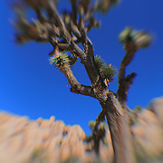 Joshua Tree Clear Blue Sky - Lensbaby