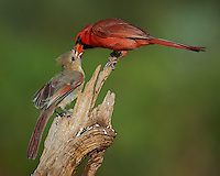 Male Northern Cardinal Feeding Breakfast to a Young Cardinal at Dos Vandas Ranch in Southern Texas. Image taken with a Nikon D4 camera and 600 mm f/4 VR lens (ISO 140, 600 mm, f/5.6, 1/1000 sec.