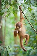 Sumatran Orangutan<br /> Pongo abelii<br /> 1.5 year old baby dangling from tree branch<br /> North Sumatra, Indonesia<br /> *Critically Endangered