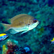Sunshinefish inhabit deep reefs and walls in Tropical West Atlantic; picture taken Palm Beach, FL.