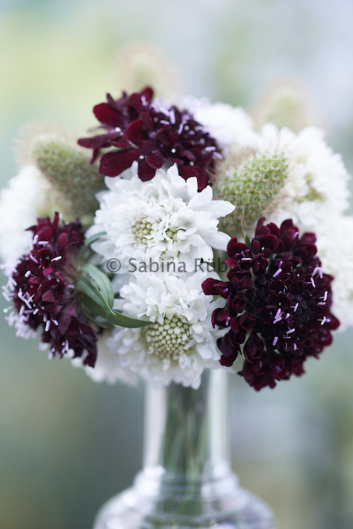 Scabious atrapurpurea 'Snow Maiden' and 'Ace of Spades' arrangement with seedheads
