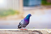 Urban Wildlife: Pigeon, Toronto Canada.