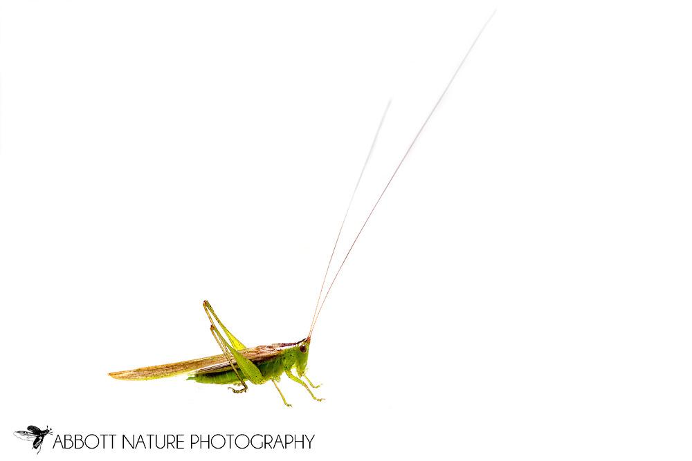 Slender Meadow Katydid (Conocephalus fasciatus)<br /> TEXAS: Jasper Co.<br /> Brookeland/Lake Sam Rayburn KOA @ 505 Co Rd 212<br /> 9.June.2015<br /> J.C. Abbott #2739 &amp; K.K. Abbott