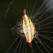 Spiny Orb-weaver (Gasteracantha diadesmia).