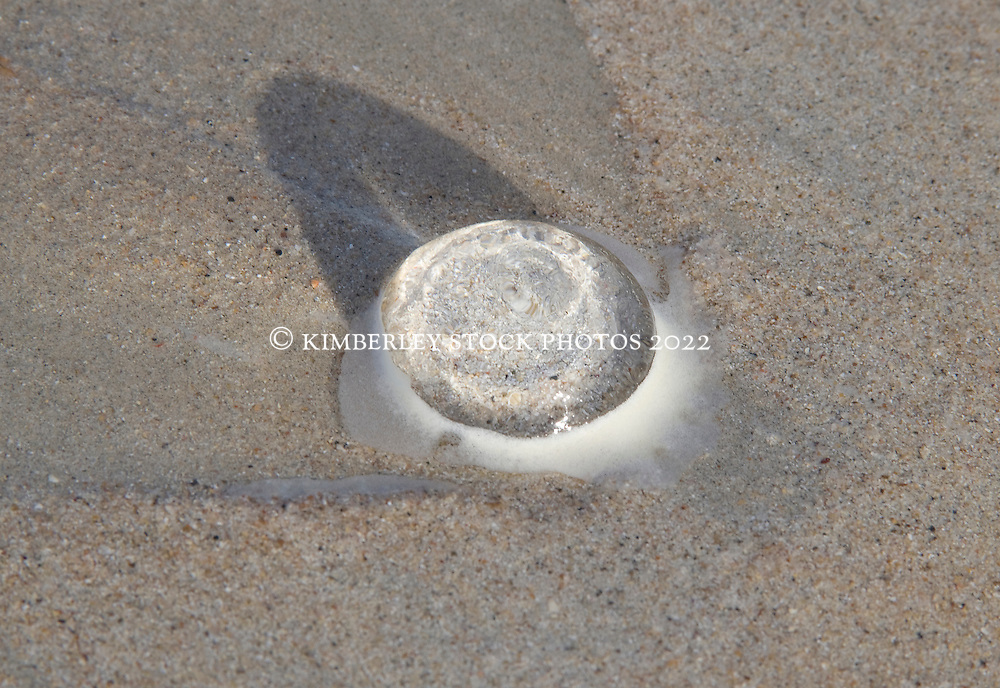 A jellyfish on Cable Beach in the wet season.
