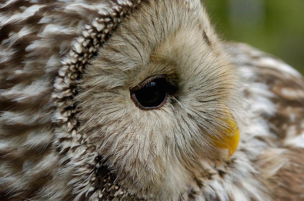 Ural owl, Strix uralensis, caught by researcher for ringing, Vastmanland, Sweden