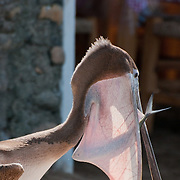A wide-eyed fish in the pouch of a brown pelican, on the Malcon, Puerto Vallarta, Mexico.  Photo by William Drumm.