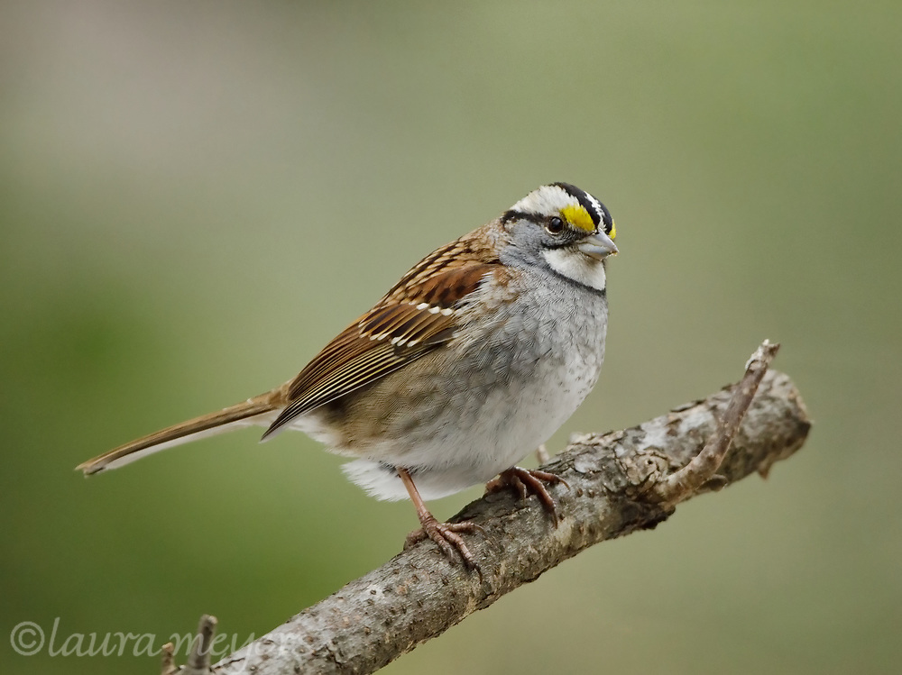 White-throated Sparrow on a branch with pretty green background.