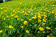 Buttercups in meadow, England
