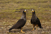 Striated Caracaras or Johnny Rooks (Phalcoboenus australis) in Courtship<br /> Steeple Jason Island. FALKLAND ISLANDS.<br /> Usually quite tame and very curious towards man. Rarely take prey on the wing using instead its ability to run and grasp penguin chicks and eggs and small petrels with its powerful feet and claws. Also feed on insects, molluscs and carrion. Can survive during critical winter periods on excreta of Gentoo penguins and fur seals.  They nest on cliff edges, under large rock slabs or on the top of a tussock grass clump, often close to the seabird colonies on which they prey.<br /> RANGE: Falkland Islands where it is largely restricted to offshore tussock islands like Jason Island group, Beauchene and Sea Lion Island, Islets of Cape Horn and some islands off the south west coast of Chile as far north as Isla Tarlton.<br /> NEAR THREATENED due to small population and restricted range.<br /> Less than 1000 birds exist.
