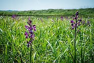 Orchid field St Ouens