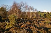 Silver birch trees Betula pendula, with gorse and heather plants on heathland, Sutton Heath Suffolk, England, UK