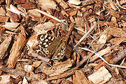 Speckled wood butterfly on a path covered with chippings.