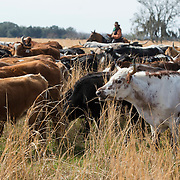 Nearly five hundred head of cracker cows and other cattle made the almost 60 mile trip from St. Cloud to Kenansville during the Great Florida Cattle Drive '16 to commemorate the life of a Cow Hunter in the 1800s.<br />