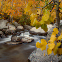 Fall aspen color along Bishop Creek near Aspendell, California.