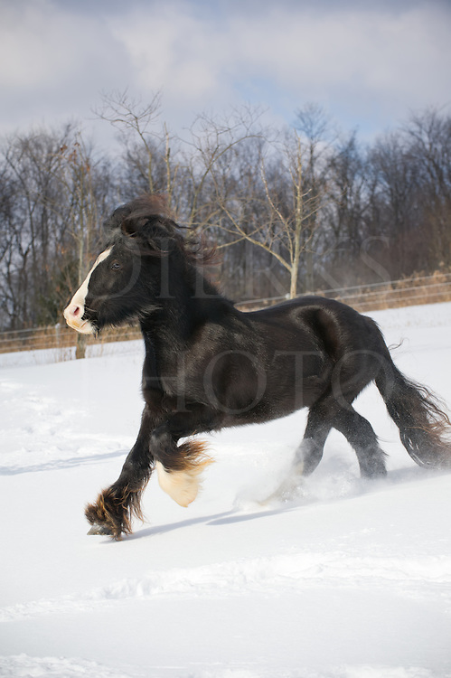 Horse running downhill in winter snow with long mane and tail hair flying, purebred Gypsy Vanner side view, a rural scene in Pennsylvania, PA, USA.