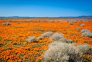 Antelope Valley, CA Poppies