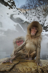 A wet baby snow monkey sits on a rock, in front of an adult snow monkey, at a hot spring in Japan during winter.