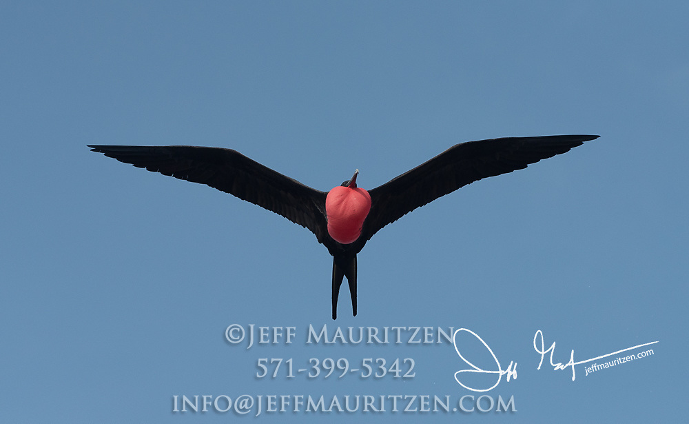 A male frigatebird flies over a mangrove forest on Genovesa island in the Galapagos with its gular sack inflated.