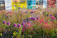 Allium 'Globemaster' and Viscaria occulata in pictorial meadow, colourful hoardings