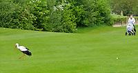 ZOELEN - Ooievaar in de baan. Golfclub de Batouwe. FOTO Koen Suyk