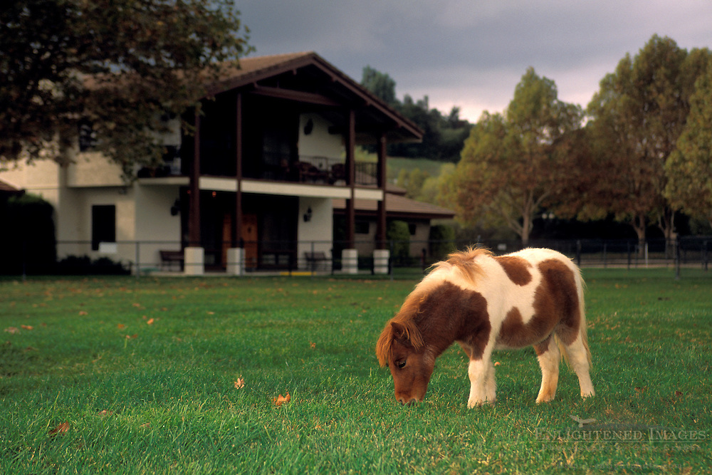Miniature Horses at Quicksilver Ranch, Los Olivos, Santa Barbara County, California