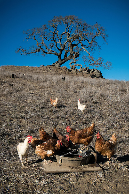 Pasture raised chickens in drought ridden Northern California