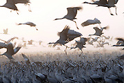 a large flock of Common crane (Grus grus) Silhouetted at dawn. Large migratory crane species that lives in wet meadows and marshland. It has a wingspan of between 2 and 2.5 metres. It spends the summer in northeastern Europe and western Asia, and overwinters in north Africa. It feeds on vegetation, insects, frogs and snakes. Photographed in the Hula Valley, Israel, in January
