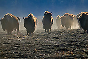 Plains bison (Bison bison bison)  is the largest land animal in North America. Fescue prairie burn.<br />