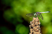 Blue Dasher - Pachydiplax longipennis sitting with its wings forward