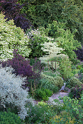 Trees at Glebe Cottage. Cornus 'Norman Hadden', Cornus controversa 'Variegata', Eleagnus 'Quicksilver', Cotinus, Crab apple. Rosa 'Paul's Himalayan Musk'