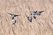Northern Pintails, Anas acuta, Brown County, South Dakota