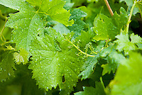 leaves of a grapevine