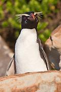 Fiordland Crested Penguin, West Coast, Westland, New Zealand