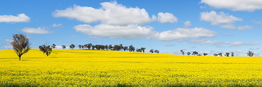 trees in a field of flowering canola crop under blue sky and cumulus cloud at Woodstock, New South Wales, Australia.