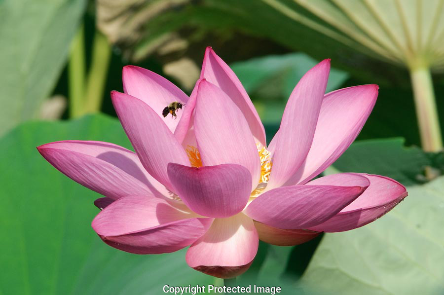 The bees entered the lotus flower and disappeared below the petals.  After a few minutes they would appear above the flower, hover for a moment and then speed on to the next flower.