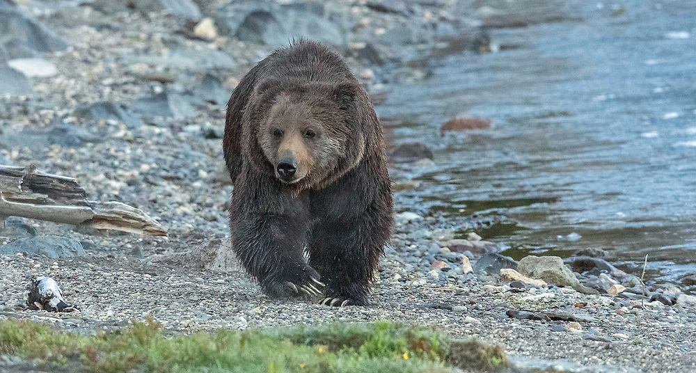 The large male grizzly, known as Circus Bear, saunters along the foggy shores of Yellowstone Lake on an early spring morning.