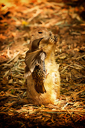 This prairie dog was just trying to eat and this little bird just kept trying to take the food right out of the prairie dogs mouth.  It was really funny to watch and the prairie dog did not seem to care.