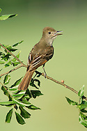 Great Crested Flycatcher - Myiarchus crinitus - Adult