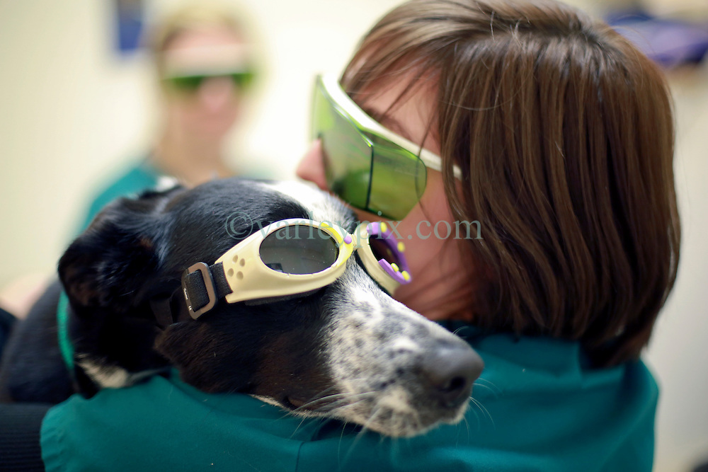 14 January 2014. New Orleans, Louisiana.<br /> Lakeview Veterinary Hospital Inc. <br /> Technicians prepare a dog for MLS (Multiwave Locked System) Laser therapy. <br /> Photo Credit; Charlie Varley/varleypix.com