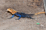 Common Agama (Agama agama) from Murchison, Uganda.