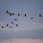 Cranes flying in morning  light, Montier en Der, France