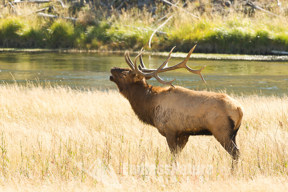 A Bull Elk vocalizes with another bull that is on the other side of the meadow if he keeps approaching there will be a fight.