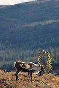 Bull Caribou, Caribou, Denali, Denali National Park, Alaska